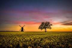 Sunday evening delight (unciepaul) Tags: sunday evening sunset stevington windmill tree field crops beautiful springtimeview landtreesky bedfordshire another late night landscape simple but striking image nikond800 lightroom pollen everywhere clean lens clothes what great time with kevin davis diamondclassphotographer