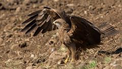 122.1 Zwarte Wouw-20170406-J1704-51557 (dirkvanmourik) Tags: blackkite corvisser ineziatoursgierenfotografiereisapril2017 milanonegro milvusmigrans spanje vogelsvaneuropa zwartewouw bird