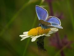 Butterfly..... (ilfotografodellapausapranzo1) Tags: farfalle butterfly natura nature lovesnature azzurro yellow margherite