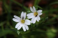 Wild Flower (Hugo von Schreck) Tags: hugovonschreck flower blume blüte macro makro canoneos5dsr tamron28300mmf3563divcpzda010 wildflower wildblume breitenborn hessen deutschland