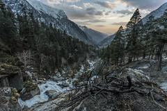 where angels go to die (dr_zook81) Tags: sunset landscape jungle forest tree pine sun color colour stream lake river supin uttrakhand uttarkashi india open outdoor mountain hill snow ice peak altitude canon 1740 branch dead angel die