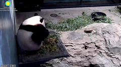 I gots da itch.   ./rg787.png (heights.18145) Tags: smithsoniansnationalzoo beibei meixiang panda animals ccncby