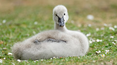 Black swan chicks - first month (3) : what happend ? (Franck Zumella) Tags: black swan chick juvenile sleeping grass noir cygne bebe poussin dormir herbe sol oiseau bird