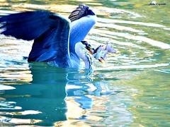 L'istinto di sopravvivenza... (michelecipriotti) Tags: bologna emiliaromagna parco istinto sopravvivenza natura lago colori nationalgeografic airone pescegatto fish