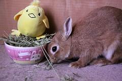 Ichigo san 672 (Ichigo Miyama) Tags: いちごさん。うさぎ ichigo san rabbit bunny netherlanddwarf brown ネザーランドドワーフ ペット いちご うさぎ