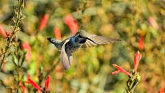 Reunited (vgphotoz) Tags: vgphotoz reunited hummingbird flowers summercolors arizona usa nature goodmorning happyday wings marculescueugendreamsoflightportal fugitivemoment ngc