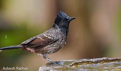 Cooling off (asheshr) Tags: 200500mm beautifulbird bird birds birdsofindia birdsofodisha birdsoforissa bulbul nikkor200500 nikon nikond7200 redventedbulbul