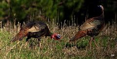 IMG_0537 (eos2315) Tags: turkey wildlife natuer audubon