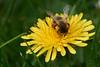 Miner bee feeding on dandelion #3 (Lord V) Tags: macro bug insect bee minerbee dandelion