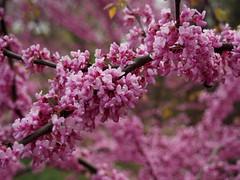 Eastern Redbud with bokeh (pilechko) Tags: bowmanshill newhope buckscounty pa flowers tree color easternredbud floweringtree spring