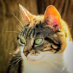 Emmeline (Catherine North) Tags: cat cats pet animal nature tortoiseshell ginger white black tabby stripy feline portrait outdoor sunlight bright