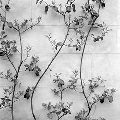 Crawling plant, Botanical Gardens, Oxford (whooshbang) Tags: yashica mat124g kodak 400tx 1500sec f56