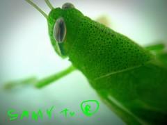Macro dune sauterelle verte // Macro of a green grasshopper (SamyTV+300000views/vues(youtube.com/user/LiLsam972) Tags: inexplore explore explored sauterelle grasshover grasshopper green macro vert eyecandy captivating