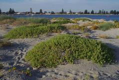 Tetragonia decumbens, Safety Bay, Rockingham, WA, 21/04/17 (Russell Cumming) Tags: plant weed tetragonia tetragoniadecumbens aizoaceae safetybay rockingham perth westernaustralia