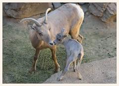 Desert Bighorn Sheep (gauchocat) Tags: arizonasonoradesertmuseum tucsonarizona