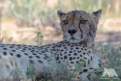Cheetah Portrait (fascinationwildlife) Tags: cheetah gepard wild wildlife cat elusive feline resting shade male summer nature natur national park kalahari kgalagadi ktp transfrontier south africa südafrika raubkatze