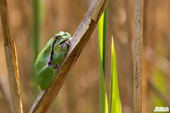 European tree frog, Europäischer Laubfrosch, Hyla arborea @ Auwald, Leipzig 2017 (Jan Rillich) Tags: europäischer laubfrosch hylaarborea froschlurch laubfrösche hylidae hyla european treefrog tree frog jan rillich janrillich picture photo photography foto fotografie eos digital wildlife animal nature beautiful beauty sunny sun fauna flora free animalphotography auwald auenwald aue elster leipzig image 2017 5dmarkiii canon frosch