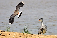 Attack and Defence. (pstone646) Tags: birds nature wildlife animals heron plover flight flying water fauna kent stodmarsh