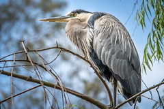 Heron in the Tree (helenehoffman) Tags: california aves ardeaherodias bird sandiegozoo greatblueheron wadingbird sandiego animal specanimal coth5