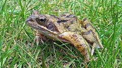 Common Frog (NickWakeling) Tags: commonfrog frog nokia