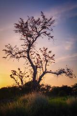 Coral tree (hamzaqayyum) Tags: sunset tree silhouette sigma flower islamabad pakistan wideangle branch