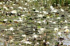 nenufares (daniel virella) Tags: nenufares lacdeguiers senegal guiers lake flowers reflex africa westafrica picmonkey waterlilies