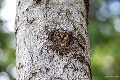 Chouette de Tengmalm - Andorre (Picou09) Tags: 2017 aegoliusfunereus andorre borealowl chouettedetengmalm strigidés strigiformes bird oiseau