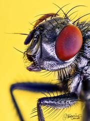 Una mosca cualquiera ... (Dancodan) Tags: nikon d7100 insectos insecto mosca macro macrofotografía macrofotografíaextrema macrophotography takumar takumar28mmf35m42 lenteinvertida fly apilado fb 500px