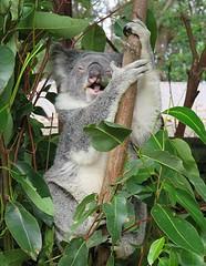 That's a Laugh! ...... 'Explored' #100  5/5/2017 (Mary Faith.) Tags: bear animal explore koala australia laughing native fun humour