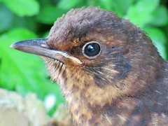 Blackbird Chick (seanwalsh4) Tags: blackbirdchick nature seanwalsh young beautiful fauna bristol windmillcityfarmbristol cute delicate happy bokeh blur waiting lovely 7dwf sundaysfauna macro closeup