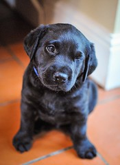 170428-Bluebellwoodsandpuppies (90)-1ps (Mphotograph) Tags: puppies labrador labradorlitter puppylitter photo nikon spring