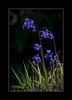 Bluebells (tkimages2011) Tags: bluebell flower plant blue spring woods grass green backlit backlighting telephoto 400mmlens sankey valley carrmill dam sthelens merseyside nature wildlife botany