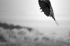 De vogel is gevlogen. (Erik Schepers) Tags: bird flying flown vliegen fly kraai crow feathers dynamic black white monochrome moody mood dark noir birds