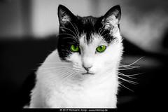 Oreo (MKKnop) Tags: mkknop michaelkknop hamburg oreo cat black white green
