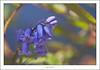 English bluebells (G. Postlethwaite esq.) Tags: canon40d dof englishbluebell sigma70200f28 beyondbokeh blue bokeh depthoffield flower photoborder plant