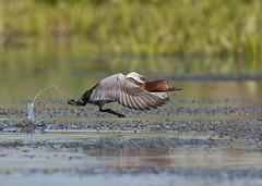 Pochard ~ Aythya ferina (Birding the day Away !!) Tags: pochard aythya ferina danubedelta mila23 romania duck fligt take off