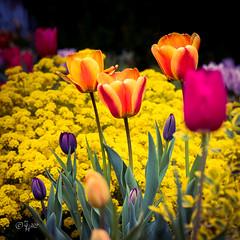 2017 Tulpenzeit (jeho75) Tags: sony ilce 7m2 macro tulpen blüte blume flower deutschland germany mai