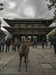 You shall not pass - Nara (bcasa31) Tags: kites bird japan cat hornet ise nara deer