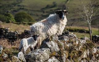 Ewe and her lamb by Dartmoor stonewall_ NK2_3729