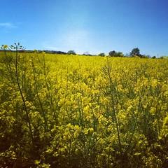 #yellow #green #running #trekkerx3 #trekker #crosscallmobile #crosscall #trailrunning #trail #nature #beautiful #sunny #pic_of_day #france (Jobi Joba) Tags: instagramapp square squareformat iphoneography uploaded:by=instagram hudson jaune yellow nature ciel sky crosscall trail sunny soleil france champ