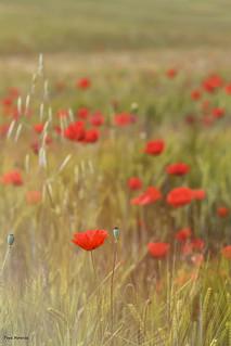 Amapolas rojas,  Red poppies