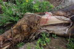 IMG_6186 (anthrax013) Tags: india varanasi corpse dead death bones skull flesh decomposition rot decay necro necrophilia