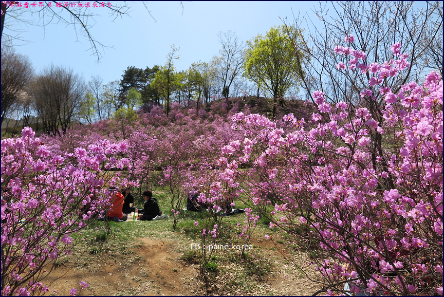 遠美山杜鵑花季