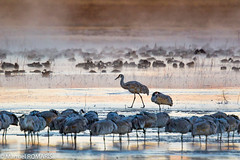 Sandhill crane (Manuel ROMARIS) Tags: bosquedelapache newmexico national wildlife usa reserve sandhillcrane ice