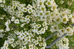 WHITE ALYSSUM (kelsey61) Tags: yards alyssum flowers gardens plants landscaping