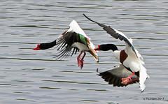 Fight! (Peter J. Ham.) Tags: woolstoneyes duck wildfowl birds aves avies oiseaux water wetland nature natur fight flight