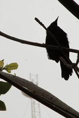 IMG_2847 (JennaF.) Tags: animal ave pajaro negro contraluz arboles sombras plantas nubes nublado universidad antonio ruiz de montoya lima perú uarm fauna blackbird tordo sudamericano