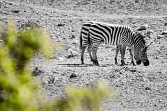 06052017-DSC_4805 (@_gatob) Tags: terra natura cebra sabana naturaleza salvaje animales bn murcia terranatura cebras animal blancoynegro