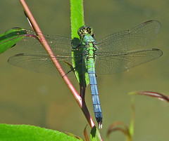 'tween Pondhawk (Vicki's Nature) Tags: pondhawk immature male blue green colorful water pond lake harmony georgia vickisnature canon s5 7892 dragonfly