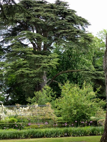 One of 5 Renown Cedars at Chateau Cheverny